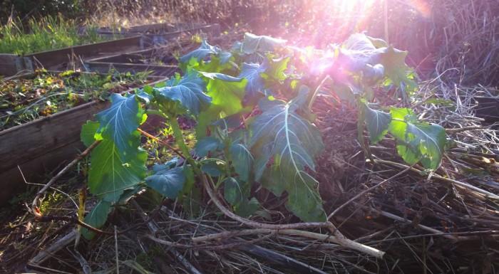 """Flerårig broccoli også kendt som """"Nine Star Perennial"""""""
